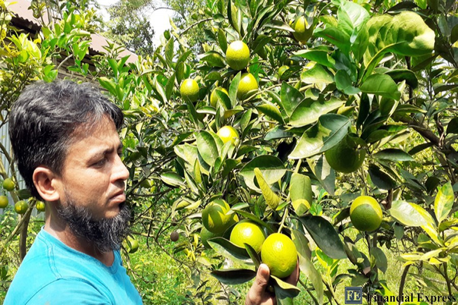Abdur Rob, a resident of Muguji village in Cumilla's Barura municipal area, showing off malta fruit produced in his orchard — FE Photo