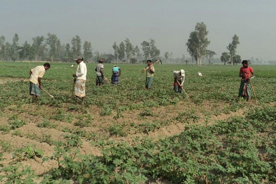 Labourers seen working at a potato field in Khetlal upazila of Joypurhat district — FE Photo