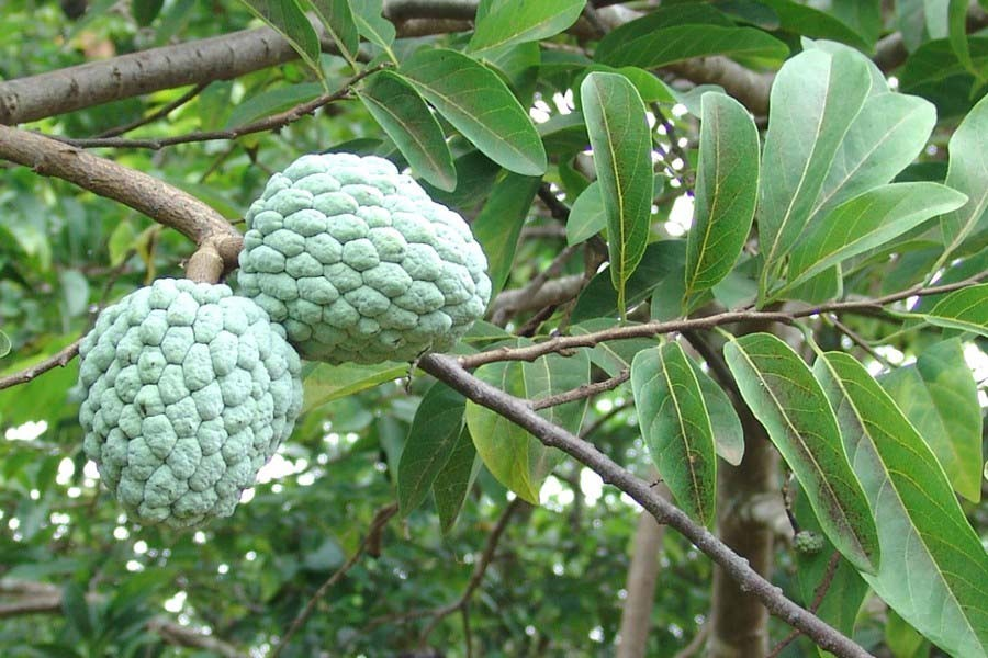 Native fruit varieties disappearing fast in Narsingdi
