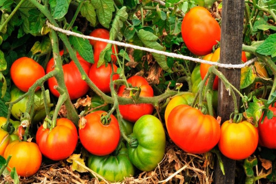 Tomato yield brings smile to farmers in Rajshahi region