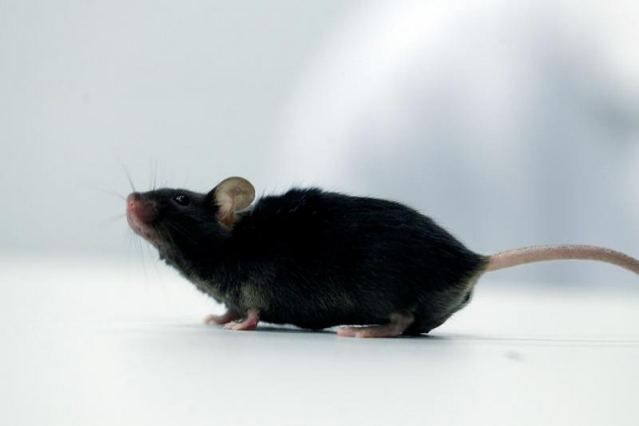 A mouse which recovered from paralysis is seen in a lab at Ruhr University, where scientists discovered a way to restore the ability to walk in mice that had been paralysed after a complete spinal cord injury, in Bochum, Germany, January 21, 2021 — Reuters