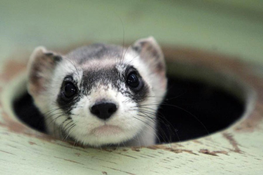 Bert, a male black-footed ferret peers out from a burrow in a cage at the US Fish and Wildlife Service National Black-footed Ferret Conservation Center in Wellington, Colorado April 11, 2007 — Reuters/Files