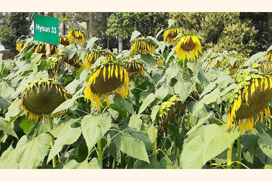A partial view of a sunflower field at Batiaghata upazila of Khulna district — FE Photo