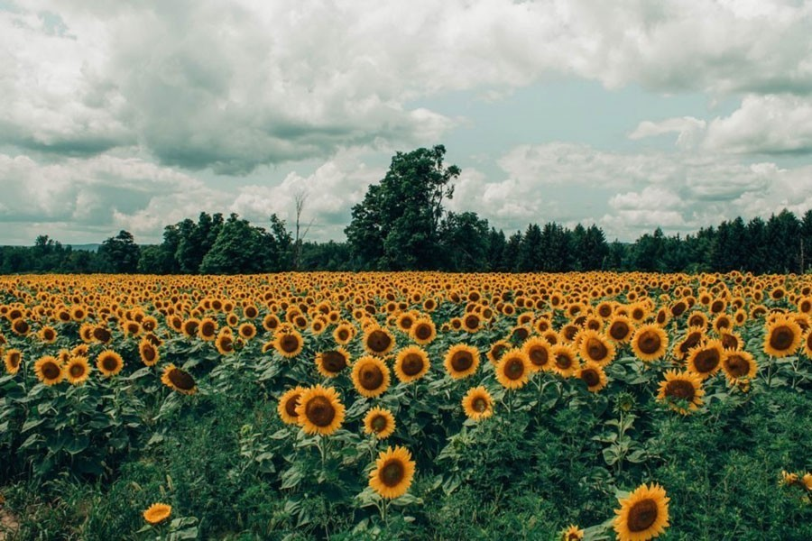 A partial view of the BADC farm of sunflower on the Dhaka-Khulna highway in the Gangavardi area of Faridpur — FE Photo