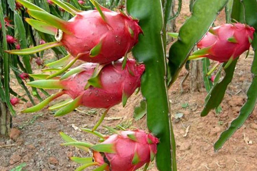 Jashore farmer successful in Dragon farming
