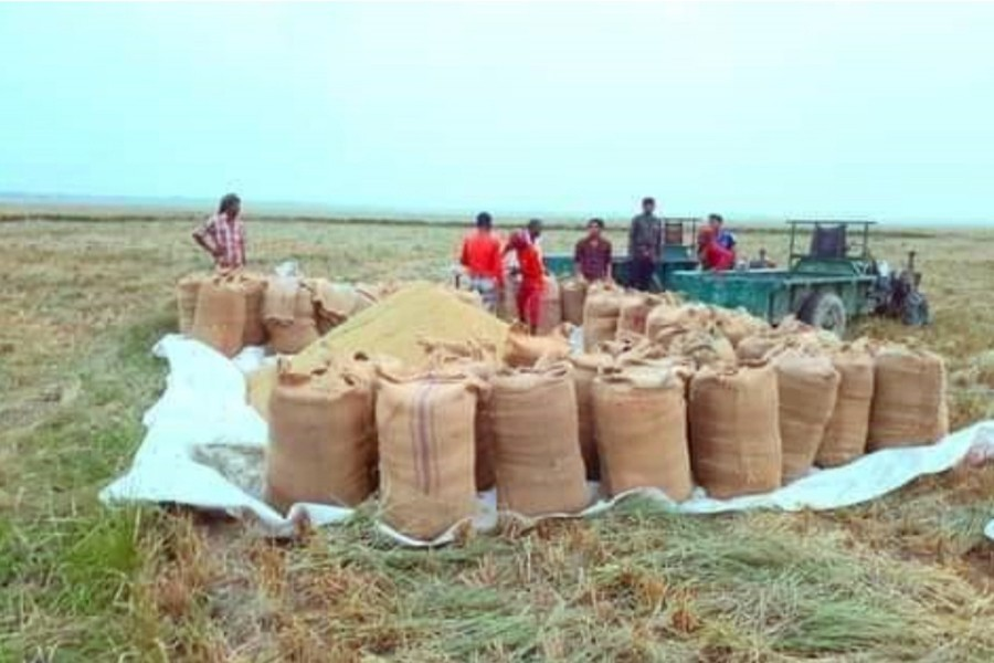 Photo shows farmers packing the harvesting Boro paddy before sending them to the market in the Dingapota Haor area in Mohanganj — FE Photo