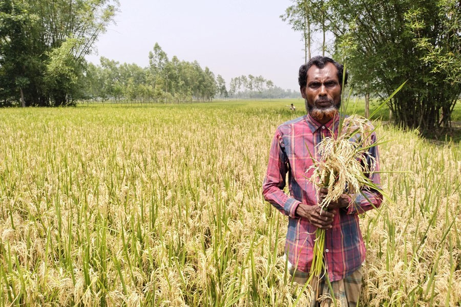 A farmer showing blast disease affected paddy at his field in Lalmonirhat —FE Photo