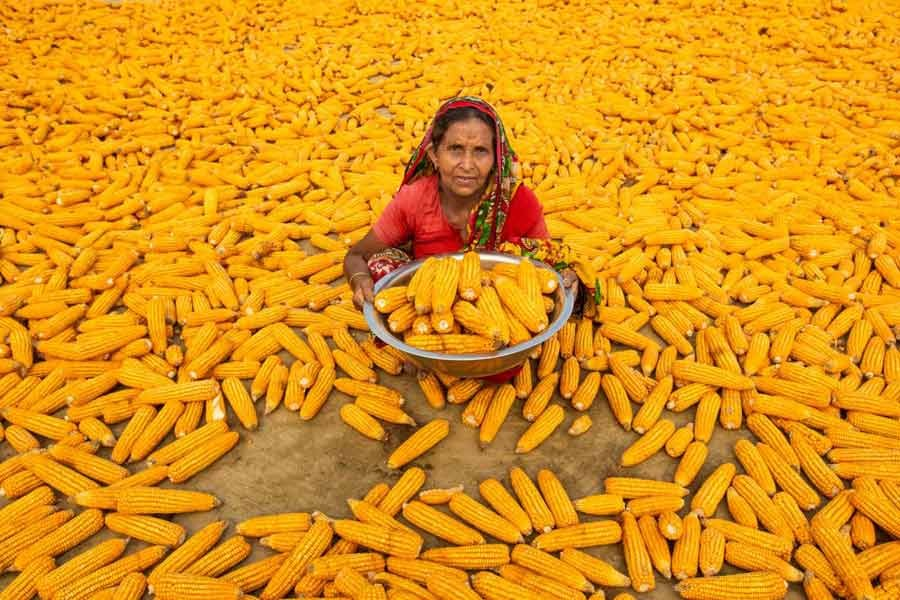 Bulbuli Begum works in the maize fields at Lalmonirhat, northern Bangladesh, on April 10 -Reuters photo