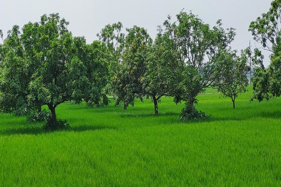 Boro paddy being cultivated inside mango orchard in Raipara village under Durgapur upazila in Rajshahi district — FE Photo