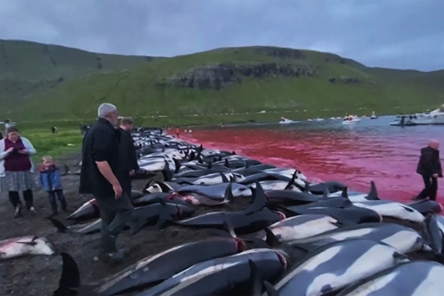 Over 1,400 dolphins killed in Faroe Islands